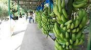banano.jpg