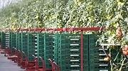 tomates10.jpg