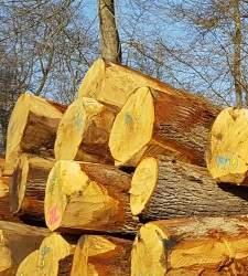 Muga hace en Francia su otra vendimia: la de la madera para sus barricas