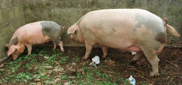 cerdos-blancos-efe-635x300.jpg