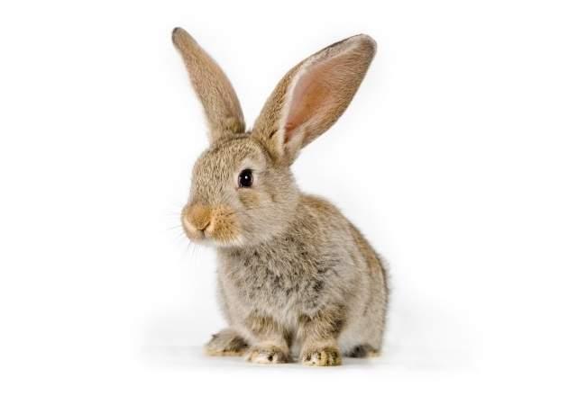 El rescate de la carne de conejo