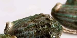 Orejas de mar gallegas, el molusco desconocido que sustituirá al percebe