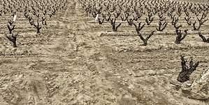 Adiós a las uvas Pinot Noir, Chardonnay o Cabernet: el vino ante el cambio climático