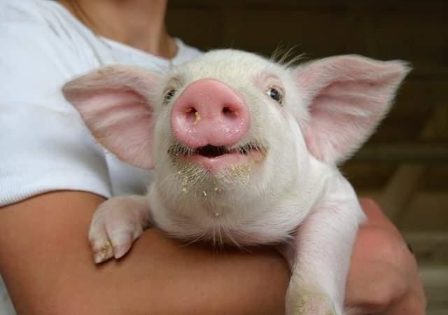 Los cerdos felices, más sabrosos
