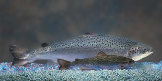 salmon-aquabounty .jpg
