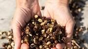 De la basura a la taza: el boom de la cáscara de café dispara su precio