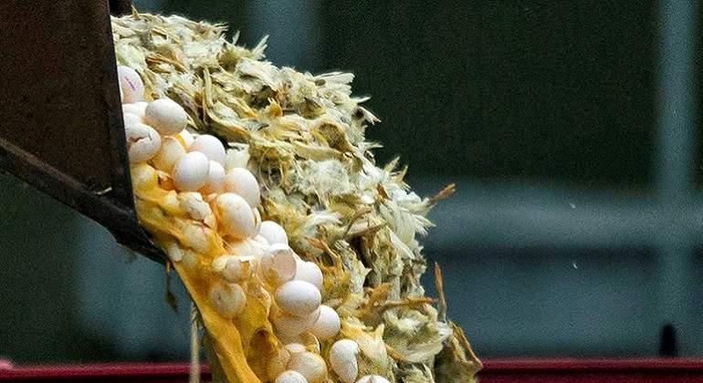 Confirman brote de virus de gripe aviar en Jalisco