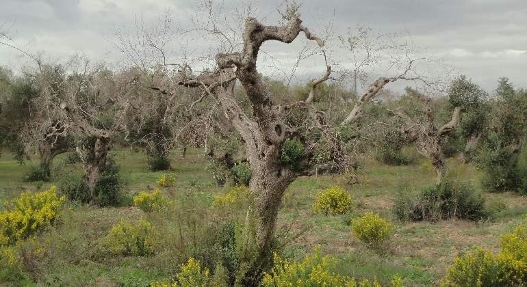 olivo-afectado-xylella.jpg