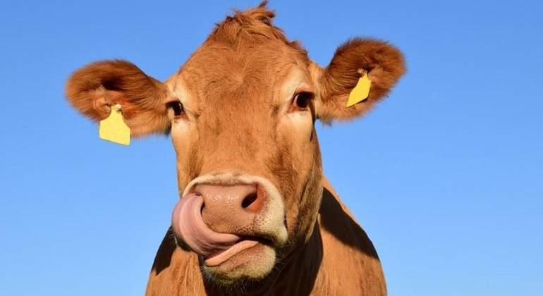 Vaca-marron.jpg
