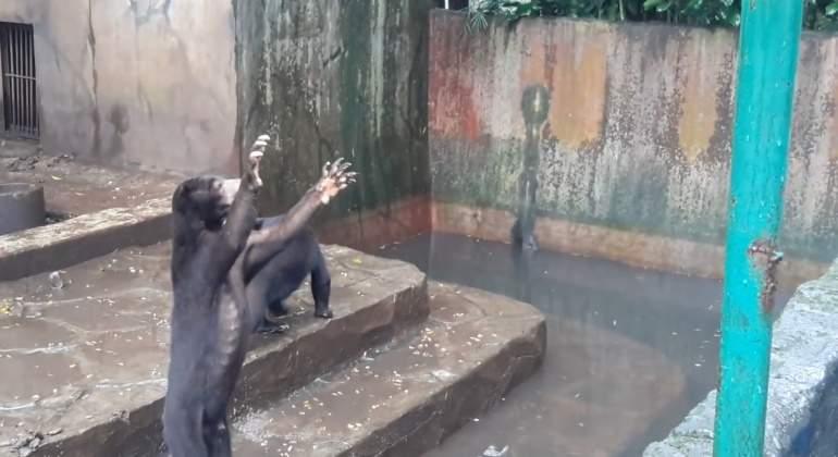 La extrema delgadez de los osos de un zoo de Indonesia