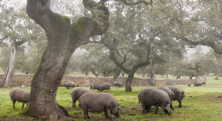 cerdo-iberico-dehesa-extremena.jpg