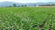 cultivo-remolachas-770.jpg