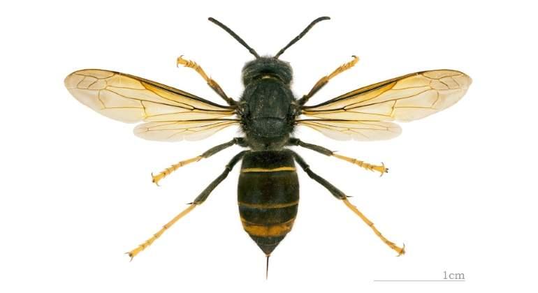 avispa-asiatica-wikipedia.jpg