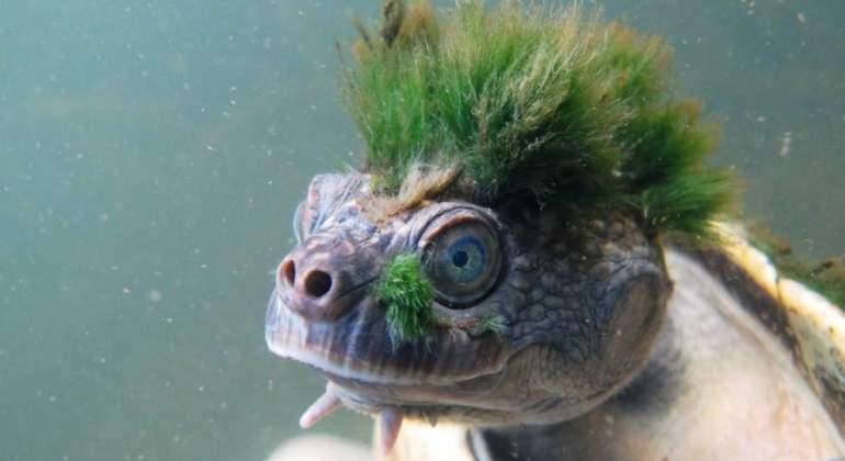 tortuga-pelo-verde-afp.jpg
