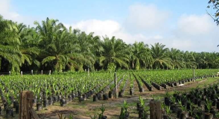 cultivo-de-palma