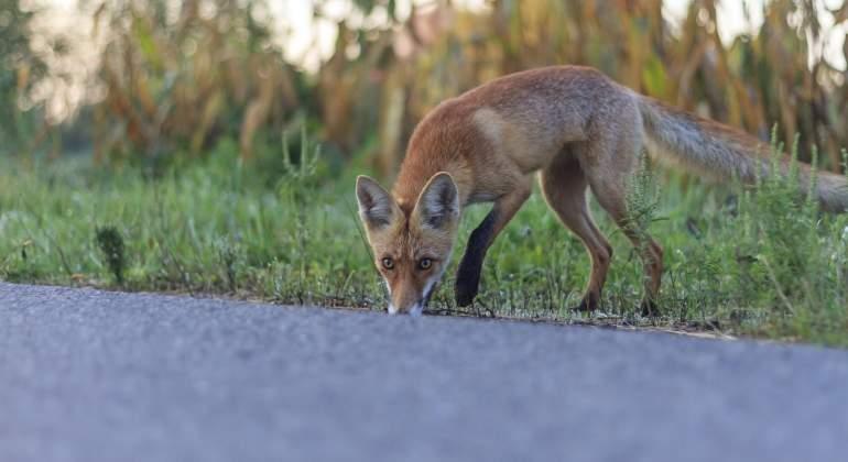 La atracción fatal de los zorros hacia las carreteras: mueren rastreando conejos
