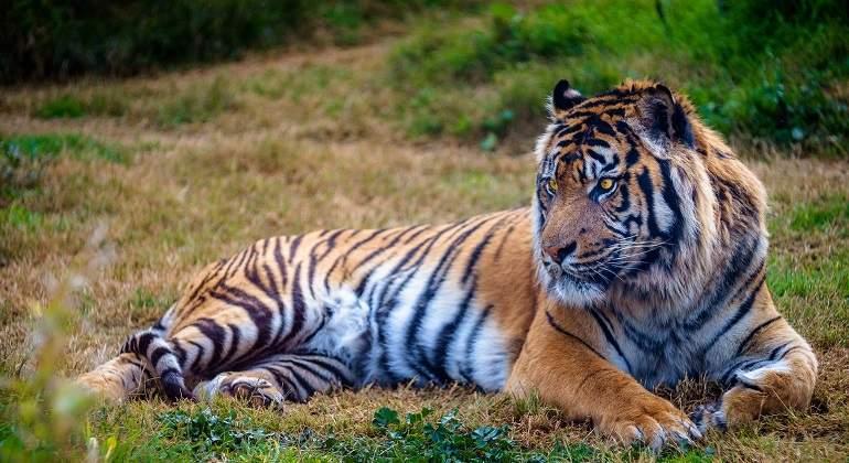 tiger-3135616_1920.jpg