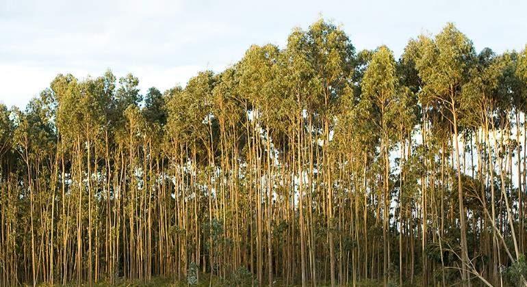 Galicia limita las plantaciones de eucaliptos pese a la - Informacion sobre el eucalipto ...