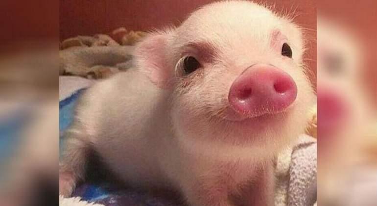 Cerdo-nuevas-mascotas.jpg
