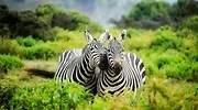 Pareja de cebras Pixabay