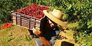 Diseñan dispositivo que monitorea cosecha de frutas en tiempo real