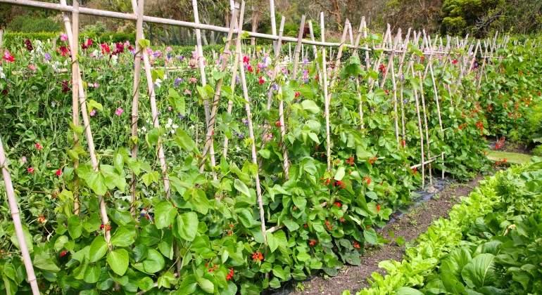 Las judías y la soja son las mejores plantas para metabolizar el nitrógeno en el suelo