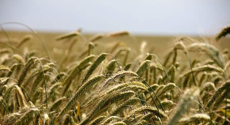 El cambio climático acaba con la esencia de los cereales