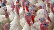 pavos-gripe-aviar-archivo.png