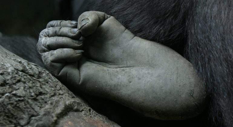 Los pies humanos perdieron la capacidad prensil de los dedos para ...