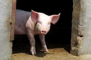 Curar la adicción china al cerdo