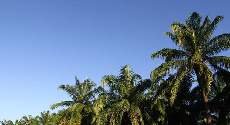 palma-cultivo