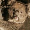 koala-australia-atrapado-1-reuters-770x420.png