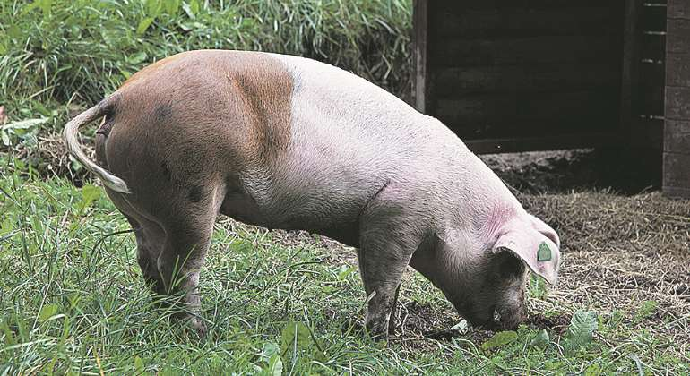 cerdo-comiendo-770.jpg