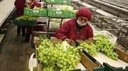 Exportaciones de uvas crecen 23% entre enero y julio