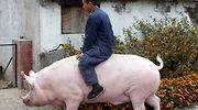 China cría cerdos gigantes del tamaño de osos polares ante la escasez de carne por la peste porcina