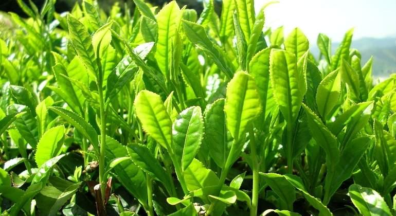 hojas-te-verde-770x420-pixabay.jpg
