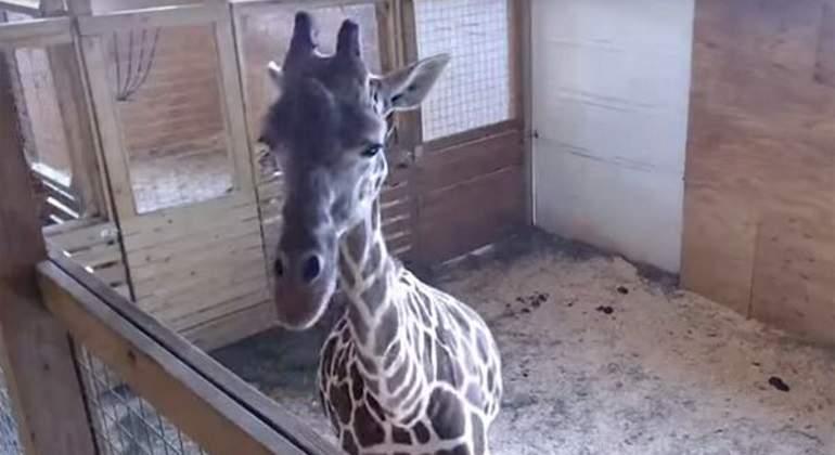 El embarazo y el parto en directo de la jirafa April desatan la locura en Internet