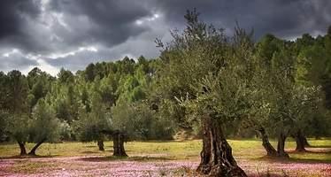 Sierra de Segura innova con el olivo para impulsar su aceite
