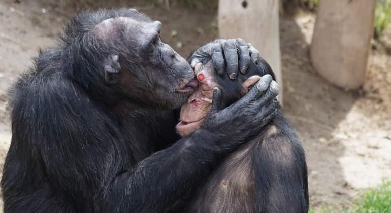 Los chimpanc�s prefieren ayudarse entre ellos a competir