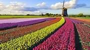 El tulipán que nunca floreció: la primera burbuja especulativa de la historia