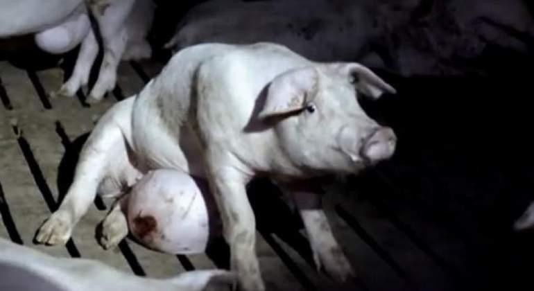 cerdo-salvados.jpg