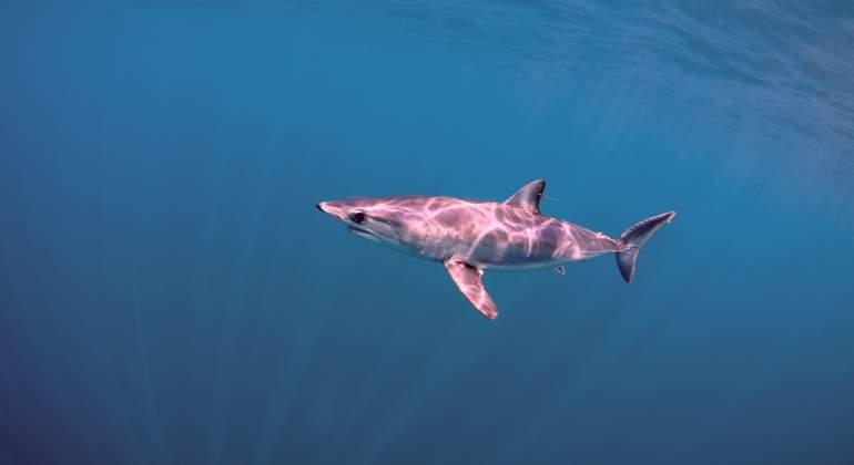 El animal más rápido del océano, amenazado por la sobrepesca