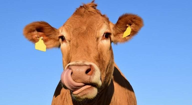 Vaca-marron-de-raza-jersey