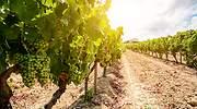 Campo-de-vinas-con-uvas-para-vino.jpg