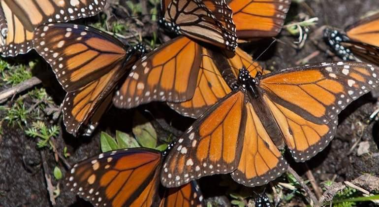 mariposas-monarca-770.jpg