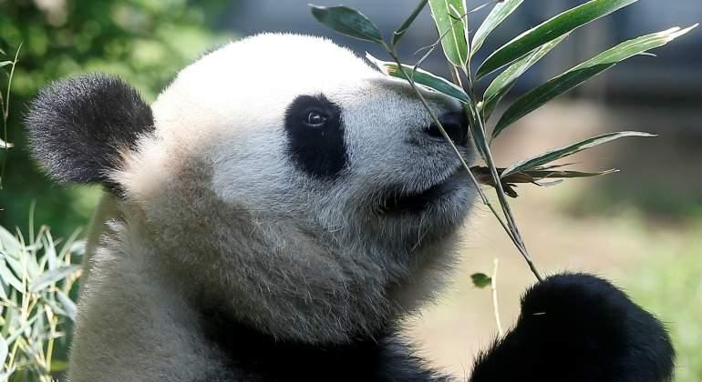 Este es el bebé panda que tiene