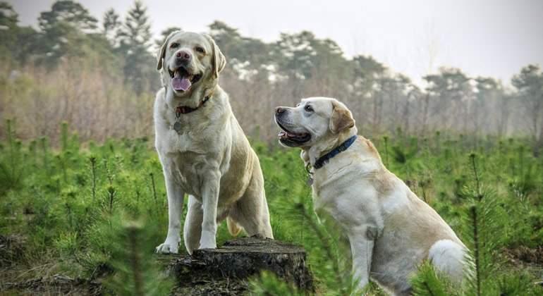Perros-labrador