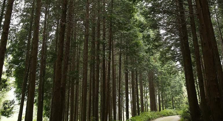 hinoki-madera-japon770.jpg
