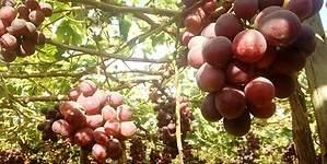 ADEX: cambio climático afectó desempeño de la uva