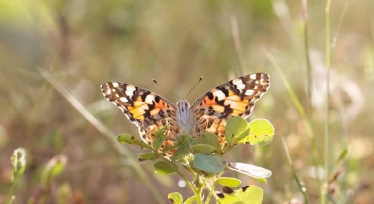 La mariposa que recorre 4.000 kil�metros atravesando el Mediterr�neo y el S�hara